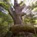 Legacy Oak. Pope Lick Park.  Bob Hower