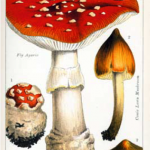 Of Magic Mushrooms and Mushroom Clouds:  A Merrily Alchemical Christmas from the Lloyd Library and Museum.