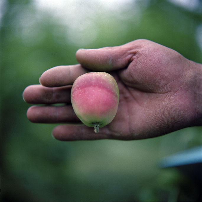 Imperfect Apple, Summer, Aomori Prefecture