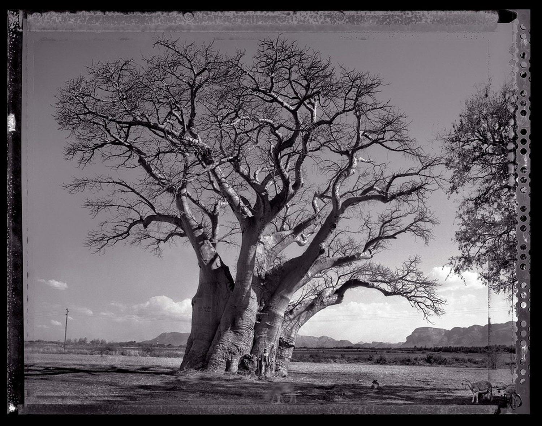 01 Baobob #13 - 2009, South Africa