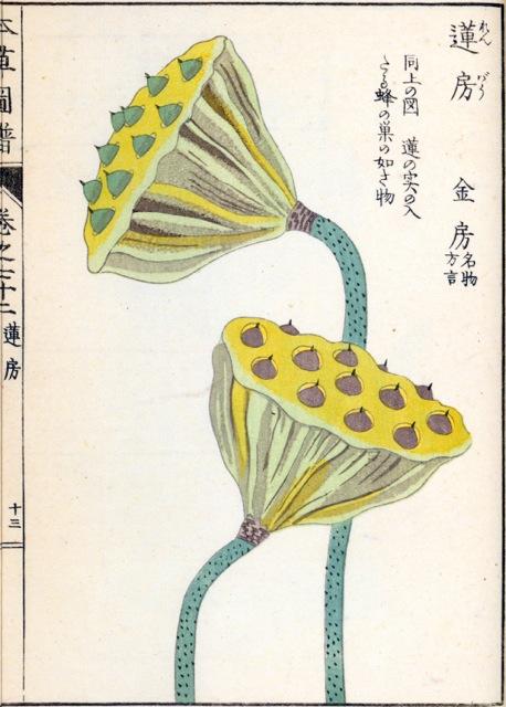 Iwasaki_lotus
