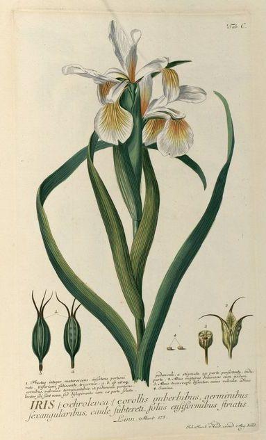 1 Ehret-Iris