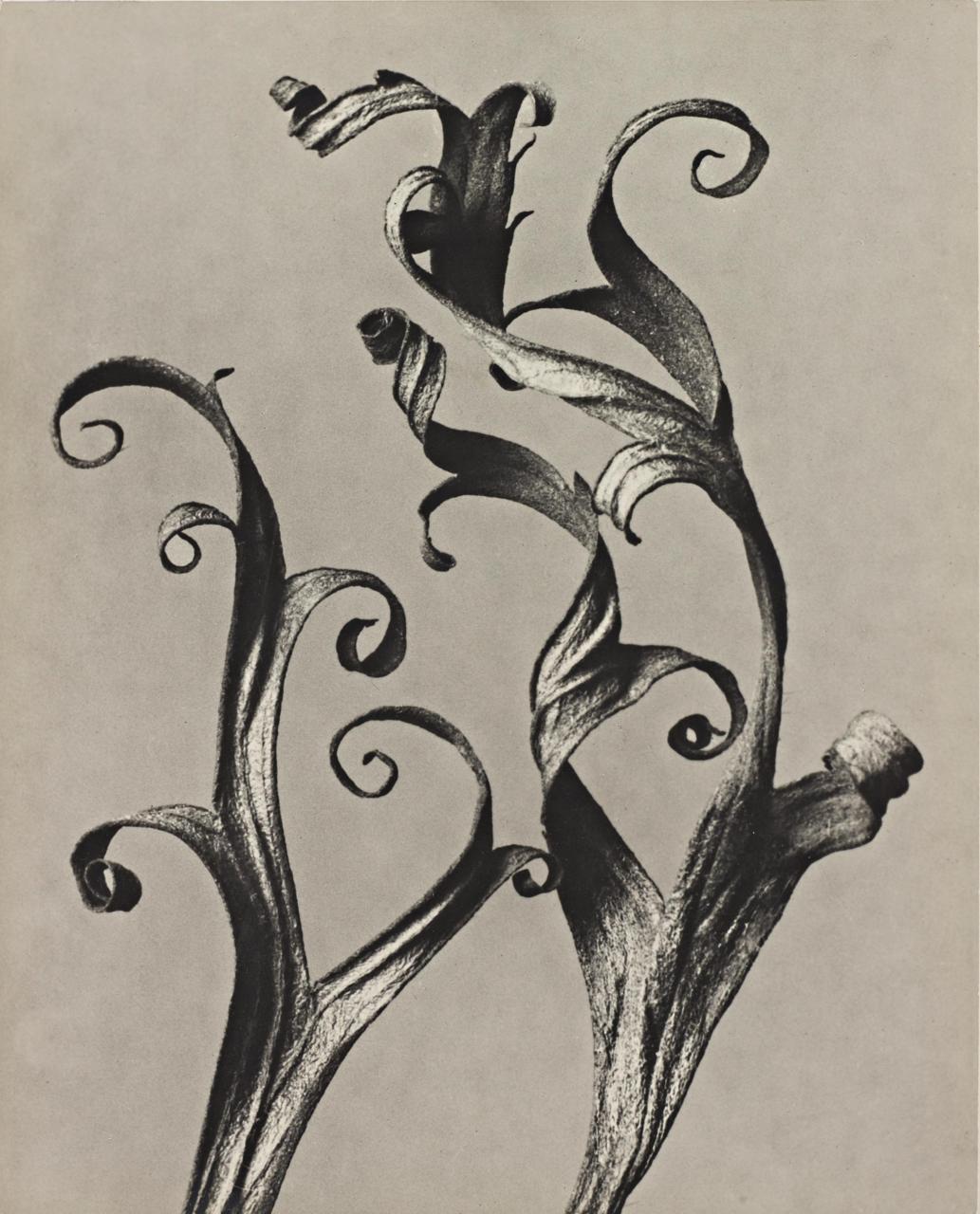 2 Blosssfeldt-Delphinium