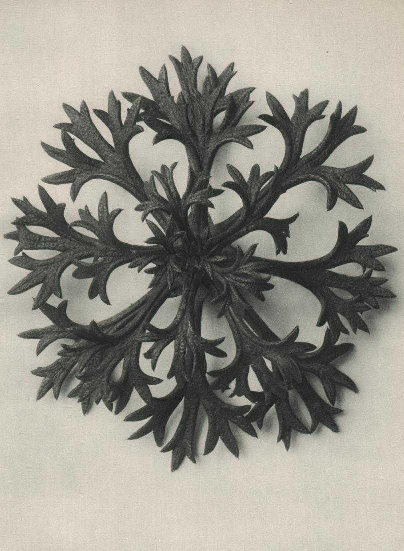 3 Blosssfeldt-Saxifraga Willkommniana